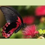«Μια ωραία πεταλούδα» στο Μουσείο Γουλανδρή Φυσικής Ιστορίας